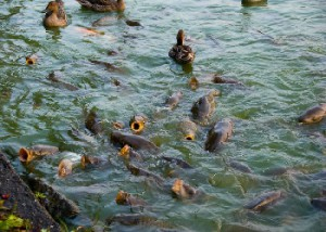 Description carp fish diseases, treatment methods, photo