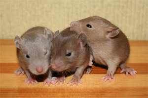 Rats burmiz, description, characteristics, content and photos