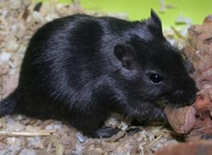 Description black gerbils, characteristics, content and photos