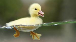 Domestic ducks content, care for the ducks, breeding tips, description and a photo