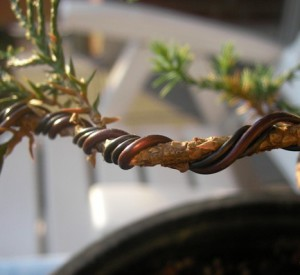 Formation bark bonsai at home with the help of wires, tips, descriptions and photos