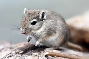 Description blue breed gerbils, characteristics, content and photos