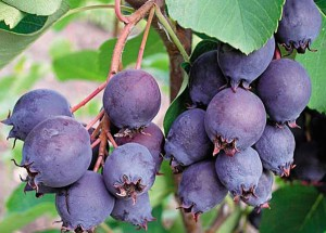 Saskatoon berries, medicinal properties, contraindications, description and a photo