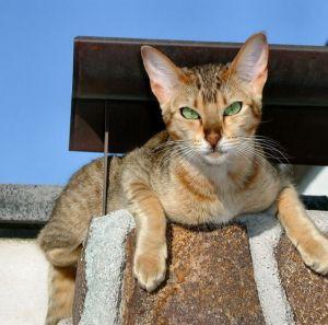 Description breed Canaan, characteristics, content and photos