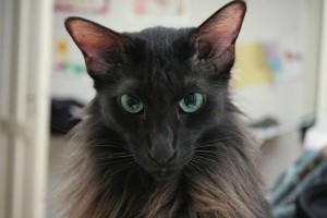 Description Javanese Cat breeds, characteristic, content and photos
