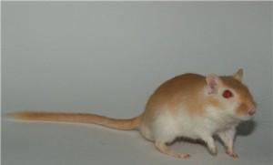 Description red-eyed honey gerbil, characterization, description and a photo