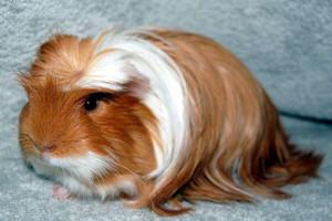 Description guinea pigs lunkariya-Coronet, pet breeding, characteristics and photos