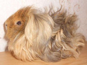 Description breed guinea pigs lunkariya-Peruvian, characterization, home contents and photos