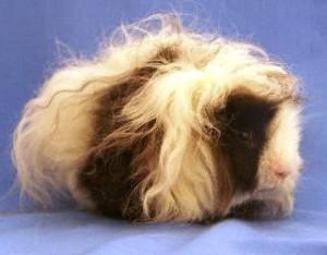 Description guinea pigs lunkariya-Shelties, feature, home contents and photos