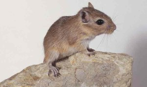 The content of Mongolian gerbils at home, characterization, description and a photo