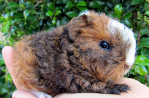Description guinea pig merino breed, characteristics, content and photos