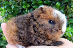 Description guinea pig merino breed, characteristics, content and photos