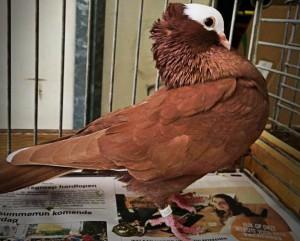 Description rock flour pigeons characteristic origin story and photo