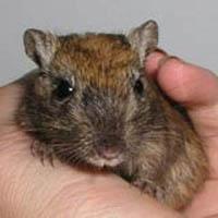 Description gerbils breed nutmeg, characteristics, content and photos