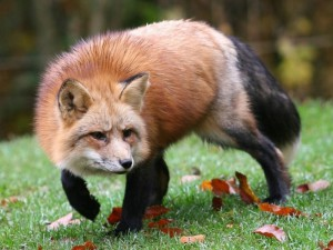 The number of species common fox population, reproduction, nutrition, basic characteristics and photos