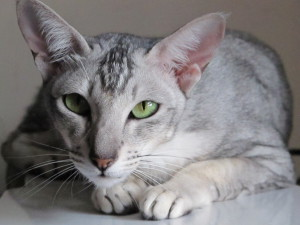 Description Oriental longhair cats, characteristics and photos