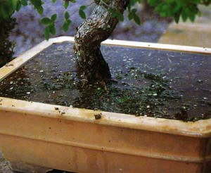 Caring for bonsai at home, watering, watering tips, description and a photo