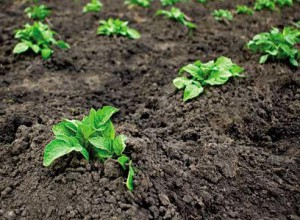 Methods for potato planting, planting dates, treatment before planting, description and a photo