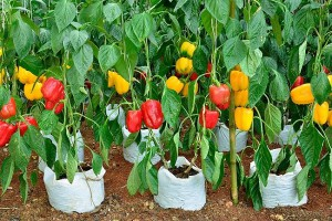 Planting pepper in open ground, care, description and a photo