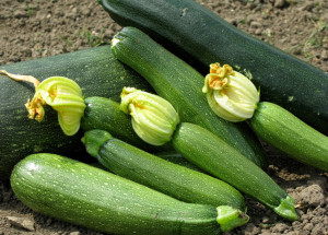 Planting in open ground squash, care, description and a photo