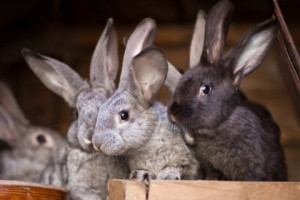 Need rabbits in energy fats, fats in the food additive, description and a photo