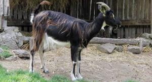 Description puatuss breed goats, characteristics, content and photos