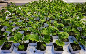 Growing watermelon seedlings at home, tips, descriptions and photos