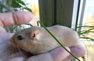 Description gerbils saffron, characteristics, content and photos