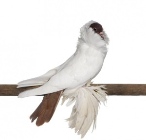 Description pigeons breed helmets, characteristic, content and photos