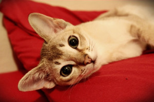 Description of the content and characteristics of cats Singapore, photo
