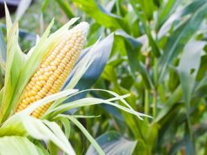 Tips for fertilization of corn, description and a photo