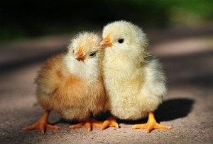 Caring for chickens, feeding, rearing at home from the very first days, the description and photo