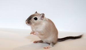 Description gerbils breed collar characteristics, content and photos