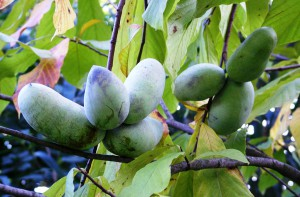 Growing Pawpaw in open ground in the home, description, tips and photos