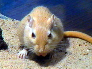 Description gold agouti with white belly, characteristics, content and photos