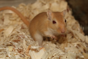 Description gerbils breed golden Argent, characteristics, content and photos