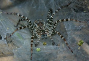 Spiders are arachnids, characterization, description and a photo