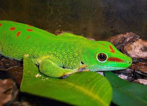 The big Madagascar gecko, the contents in the home, characterization, description and a photo