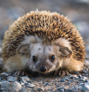 Daurian hedgehog, characterization, description and a photo