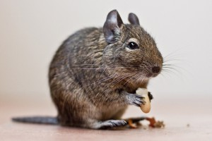 The content of degus in the home, care tips, feature, description and a photo