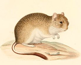 Degu sonevidny, content, feature, description and a photo