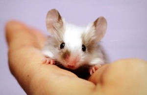 Decorative mouse, breed, care and maintenance in the home, the description and photo