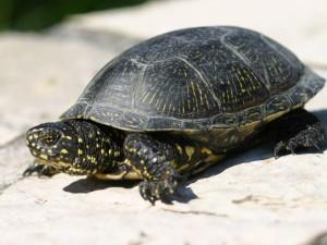 Описание вида Евпропейской болотной черепахи, фото породы, характеристика.