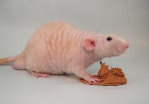 Description breed fuzzy rats, photo