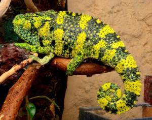 Meller's Chameleon, description, photos and content