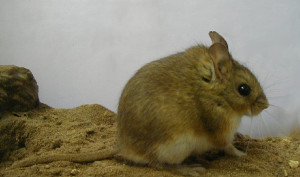 Description hamsters breed Altiplano, photo type