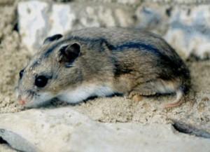 Description Daurskiy hamster breeds, photo type, characteristic