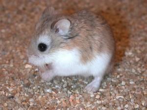 Description hamsters Roborovski breed, characteristics, photos