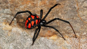 Description poisonous spider species Karakurt, characteristic of the breed, photos