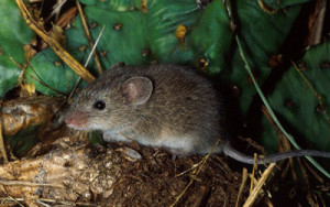 Description dwarf hamsters breed Taylor, photo, characteristics